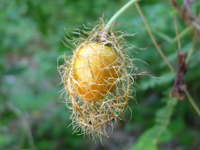 Пассифлора изменчивая - Passiflora foetida. Пассифлора фото.