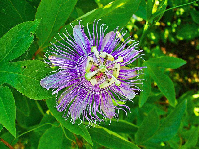 Пассифлора инкарнатная - Passiflora incarnata. Пассифлора фото.