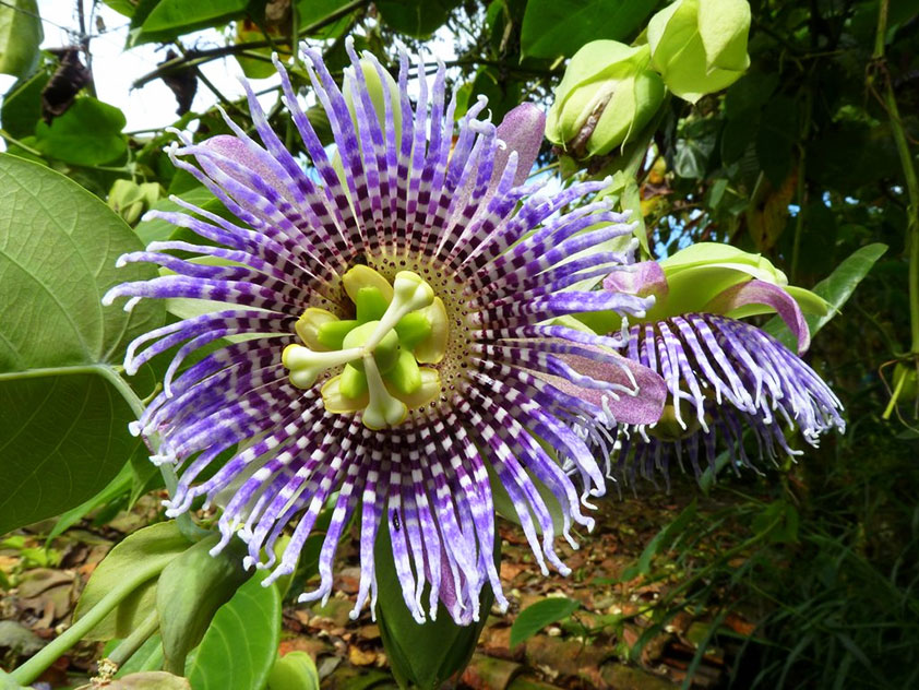 Пассифлора язычковая - Passiflora ligularis. Пассифлора фото.