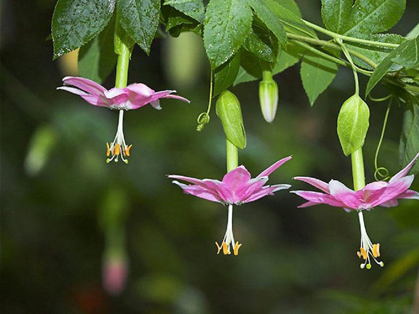 Пассифлора нежнейшая - Passiflora mollissima. Пассифлора фото.