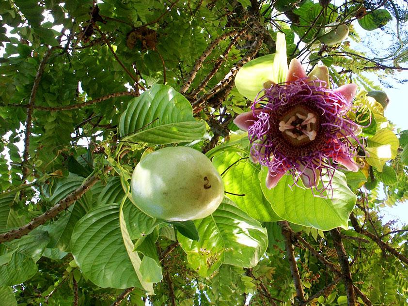 Пассифлора четырехгранная - Passiflora quadrangularis. Пассифлора фото.
