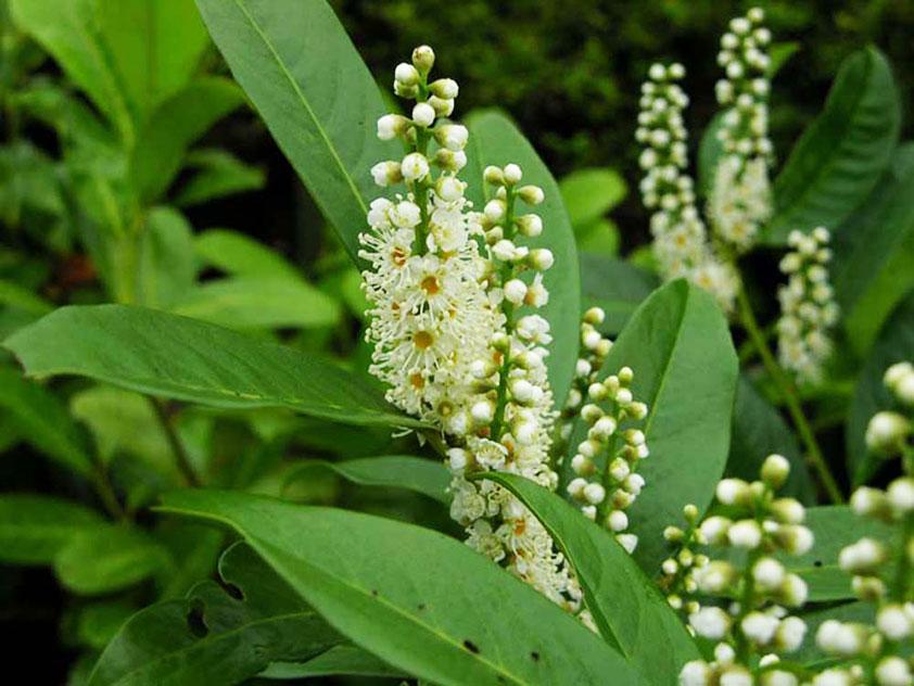 Лавровишня лекарственная - Prunus laurocerasus, лавровишня фото