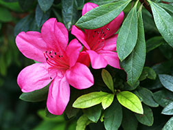 Комнатное растение - Азалия - Rhododendron simsii, азалия фото