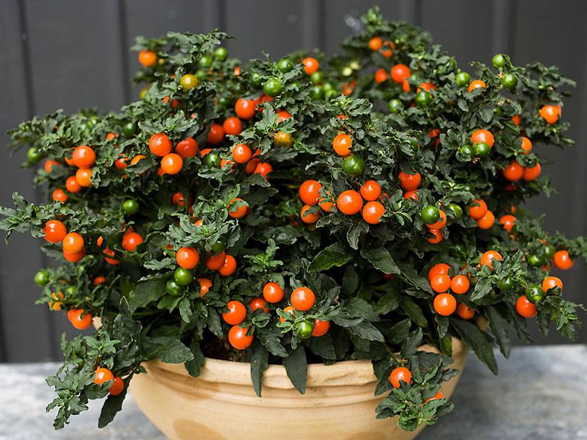 Паслен ложноперечный - Solanum pseudocapsicum, паслен фото