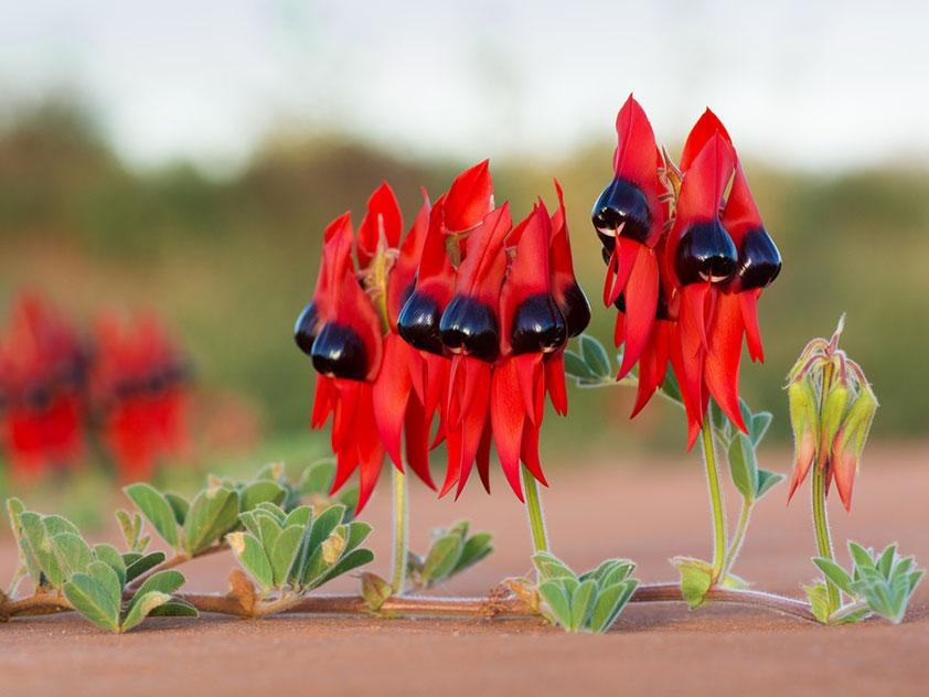 Свайнсона прекрасная, или Клиантус красивый - Swainsona formosa, клиантус фото