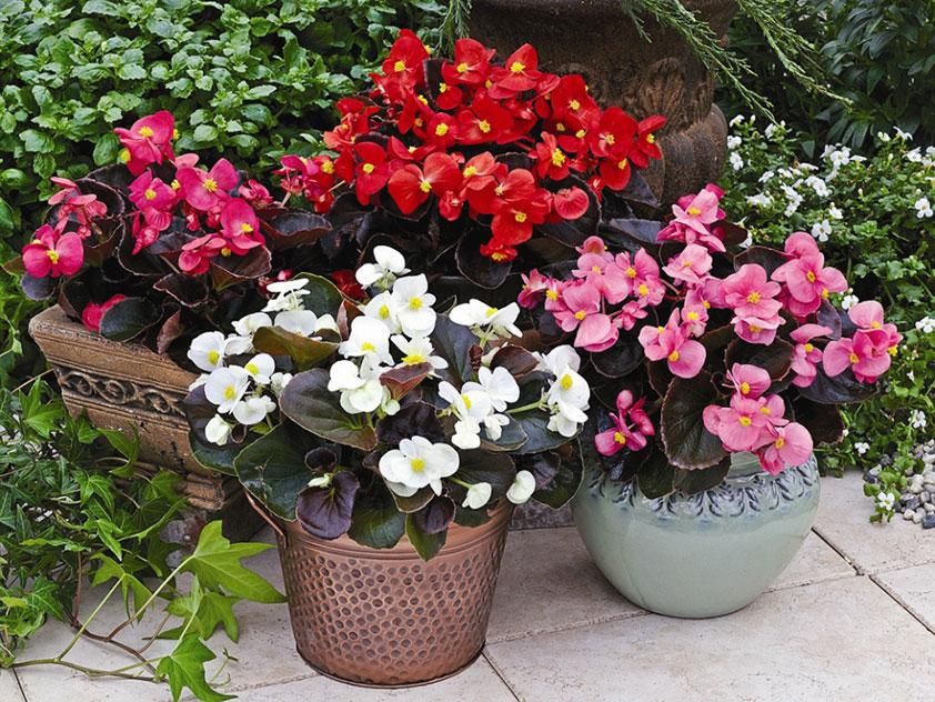 Комнатное растение - Бегония - Begonia, бегония фото
