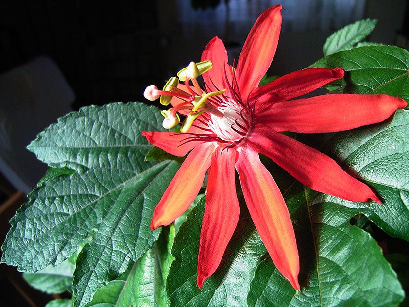 Пассифлора - Passiflora. Пассифлора фото.