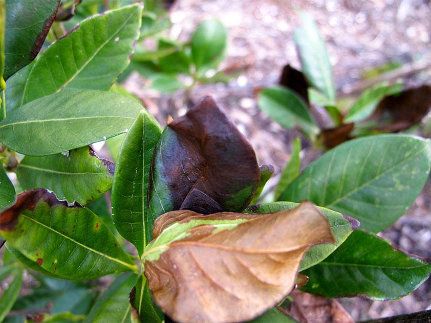 Гардения жасминовидная сохнут листья. Фото.