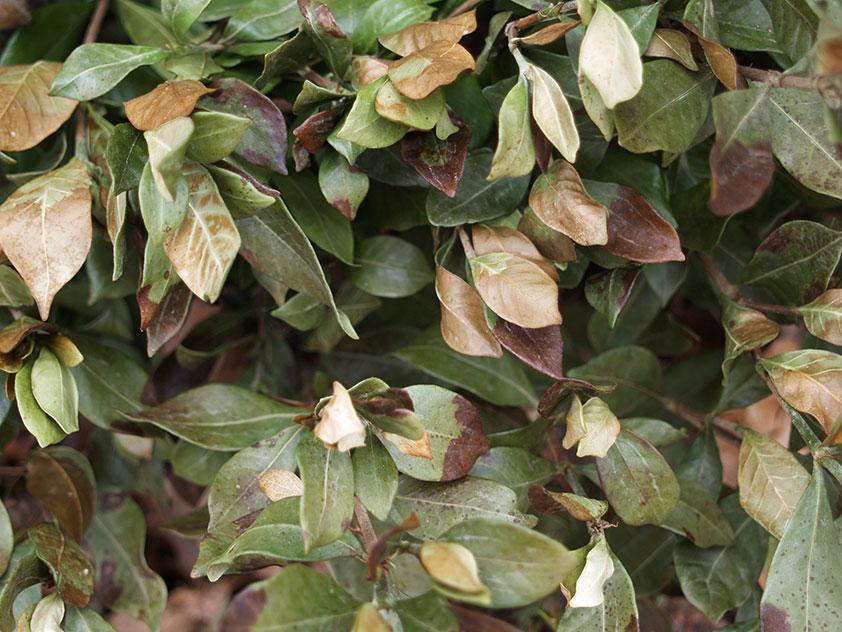 У гардении жасминовидной сохнут и опадают листья. Фото.