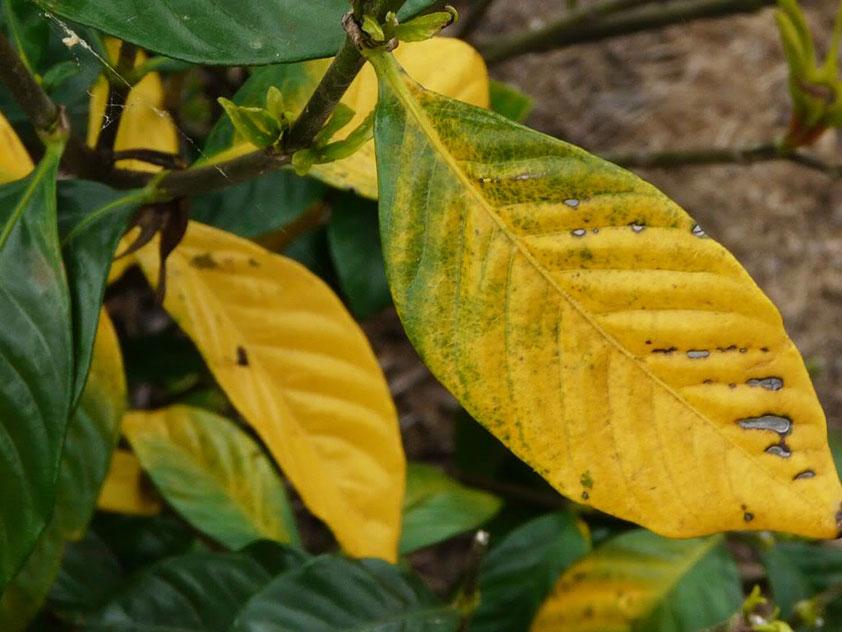 У гардении жасминовидной желтеют и опадают листья. Фото.