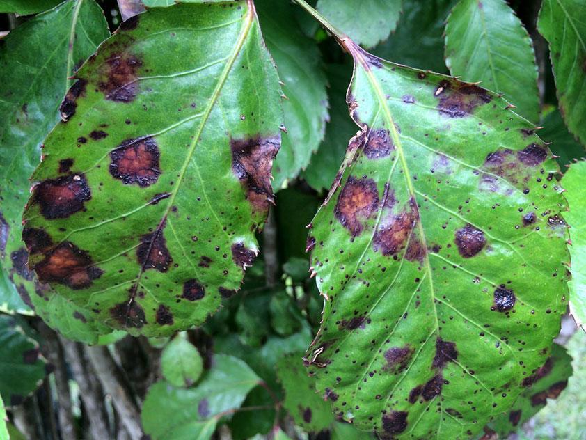 Пятна на листьях, вызванные бактериями.