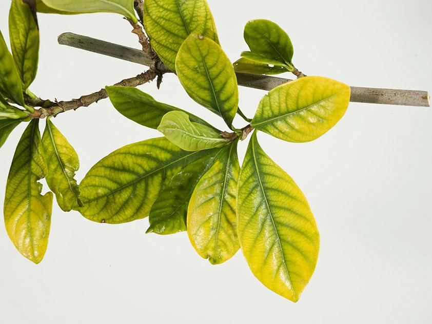 У гардении жасминовидной желтеют листья. Фото.