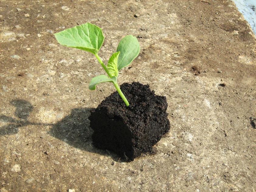 Как высаживать рассаду дыни в грунт 631
