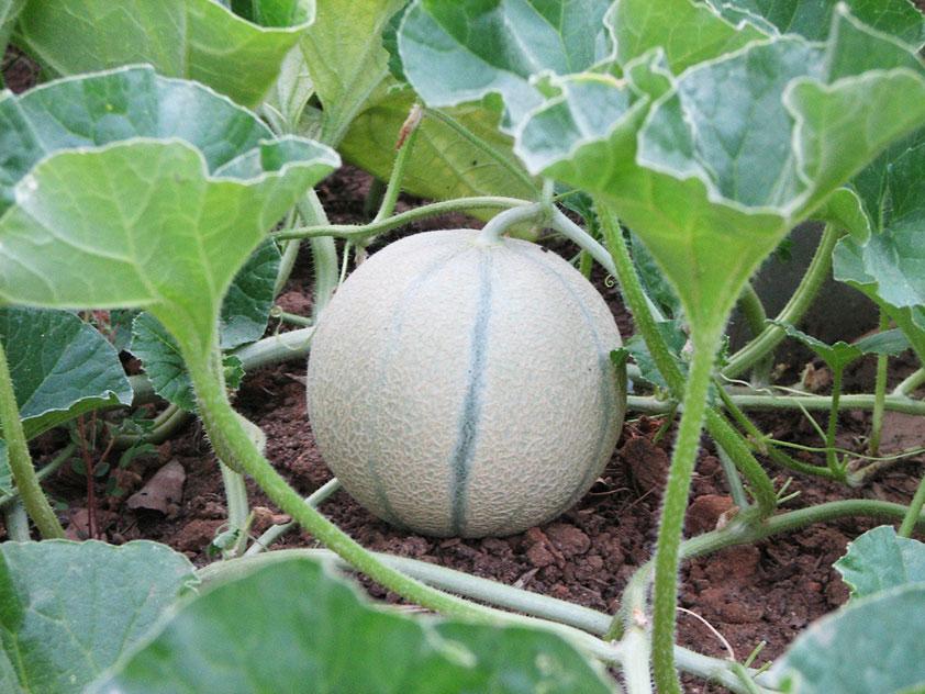 дыня, выращивание дыни, умеренный климат